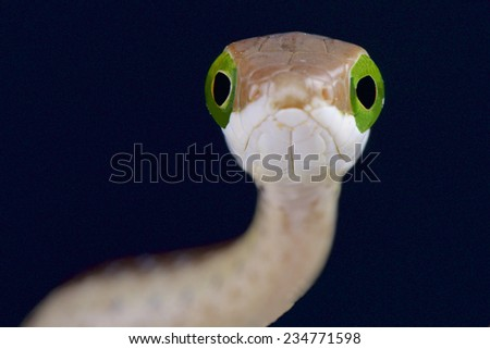 Tree snake / Dispholidus typus - stock photo