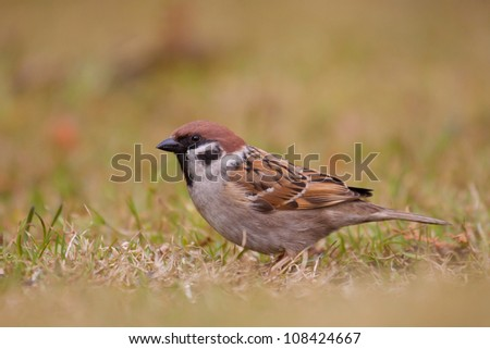 Tree sparrow on grass (Passer montanus)