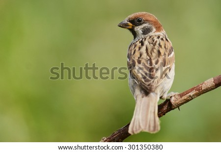 Tree sparrow (Passer montanus) - stock photo