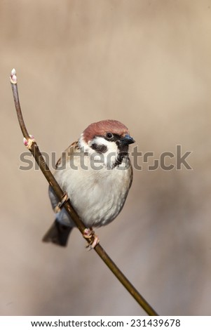 Tree Sparrow (Passer montanus) is in the nature. Russia - stock photo