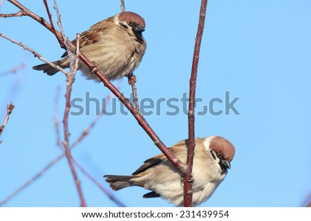 Tree Sparrow (Passer montanus) is in the nature. Russia