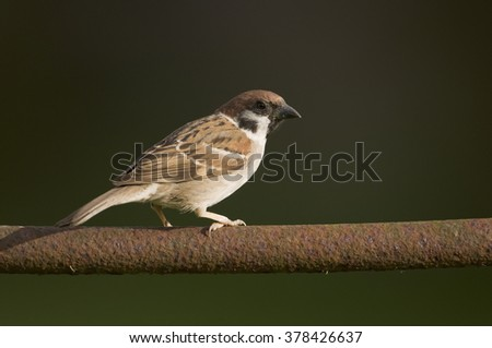 Tree sparrow (passer montanus) perched on a rusty old gate
