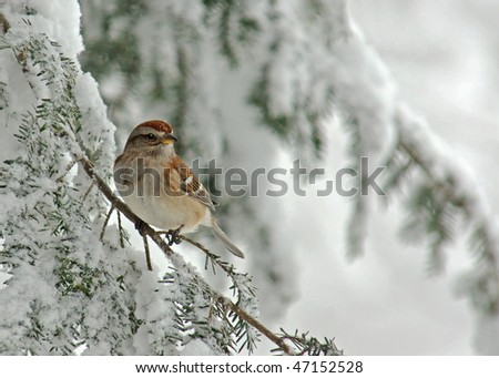 Tree Sparrow (Spizella arborea) perched on a snow covered Evergreen during a snow storm in winter.