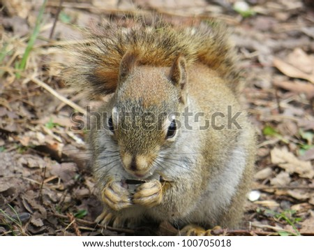 Tree squirrel nibbling close up