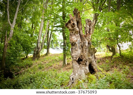 Tree stump in a beech forest