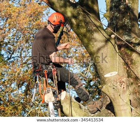 Tree surgeon hanging from a branch of a large tree whilst felling it.  The male worker is wearing full chainsaw safety equipment and has a chainsaw attached to his waist. - stock photo
