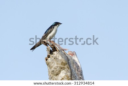 Tree Swallow and tree trunk