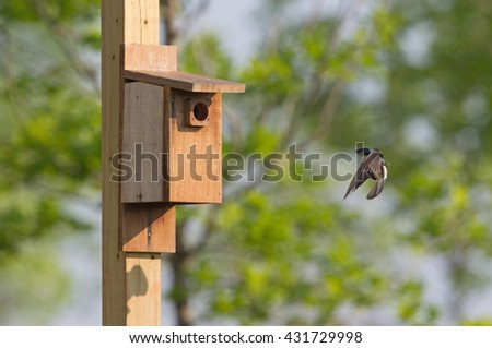 Tree swallow at bird house in Virginia.  Looking out the hole - stock photo