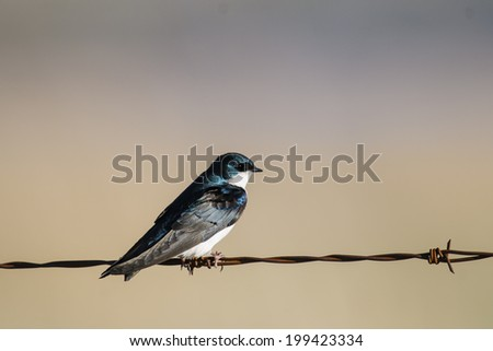 Tree Swallow on a barbed-wire fence - stock photo
