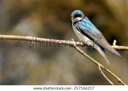 Tree Swallow Perched on a Branch