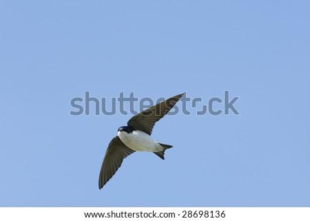 Tree Swallow (Tachycineta bicolor), male in flight in clear blue sky. - stock photo