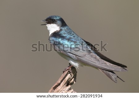 Tree Swallow (tachycineta bicolor) on a perch with a colorful background - stock photo