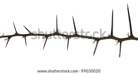 Tree thorns isolated on white background - stock photo