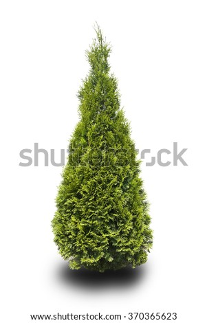 tree thuja isolated on white