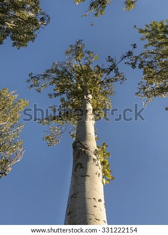 Tree top of poplar on blue sky and the sun between the branches - stock photo