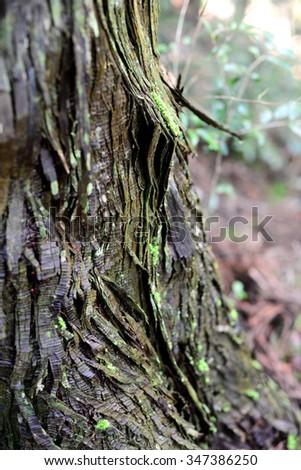 Tree trunk bark at Kumano Kodo, Wakayama, Japan - stock photo