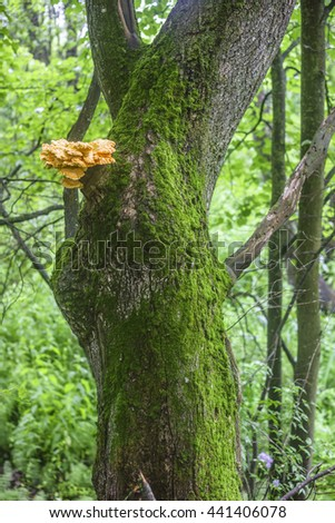 """Tree trunk covered with green moss and sulfur-yellow fungus Laetiporus Sulphureus on it also known as """"Chicken of the Woods"""" - stock photo"""