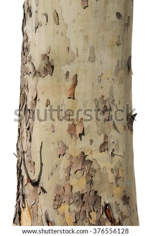 tree trunk isolated on white background, sycamore tree - stock photo