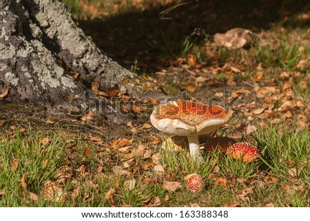 tree trunk with fly agaric mushrooms - stock photo