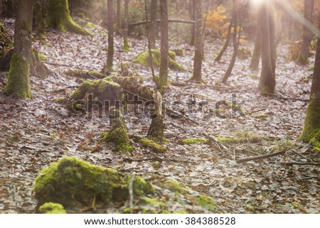 tree Trunks are laying in the forest with lot of moss . Sunbeams shine trough the trees.