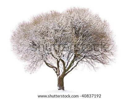 Tree under snow isolated on white background - stock photo