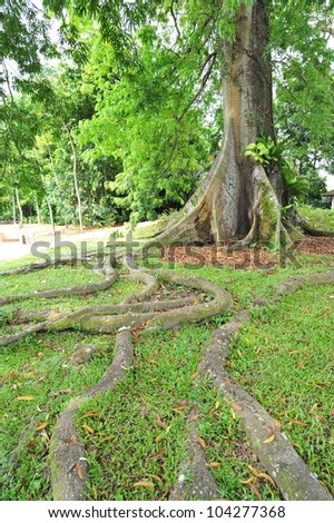 Tree With Buttress Roots - stock photo