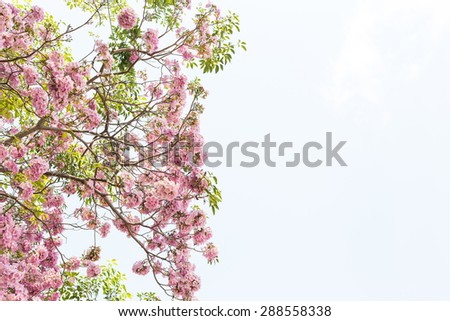 Tree with pink blossom flowers in Spring  on white background - stock photo