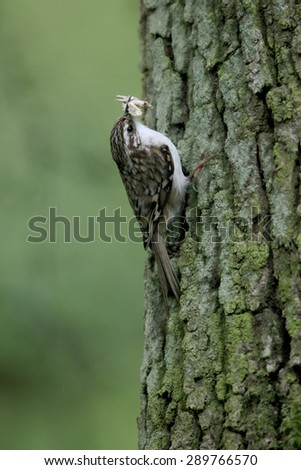 Treecreeper, Certhia familiaris, single bird on tree, warwickshire, May 2015