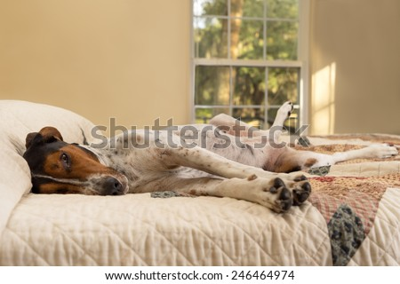 Treeing Walker Coonhound dog lying down inside on human bed with quilt looking tired lazy sleepy worn out exhausted comfortable relaxed stress-free pampered cozy melancholy lethargic sick unwell - stock photo
