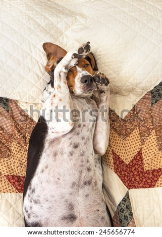Treeing Walker Coonhound dog lying upside down sleeping on human bed with quilt looking relaxed pampered cozy comfortable exhausted ashamed adorable with paw on head - stock photo