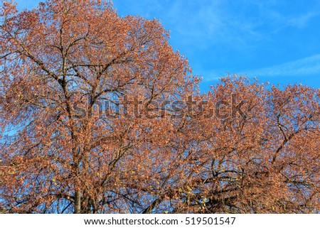 Trees against blue sky in late autumn.