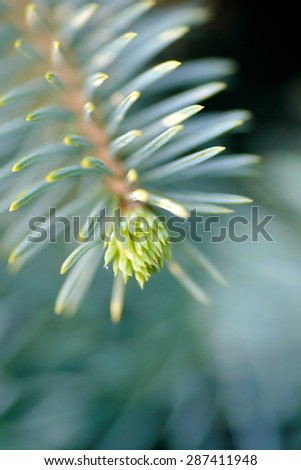 Trees and plants: tip of the fir tree branch, close-up shot, selective focus, intentional artistic blur - stock photo