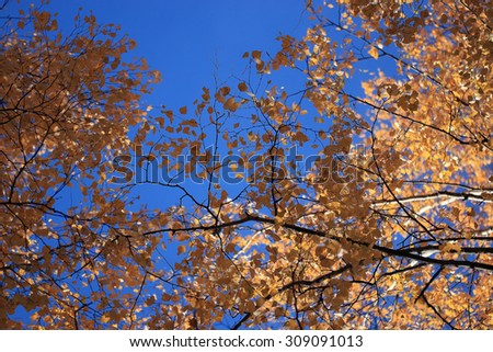 trees blue sky yellow leaves up