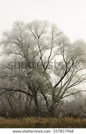 Trees covered with hoarfrost in a fog at november