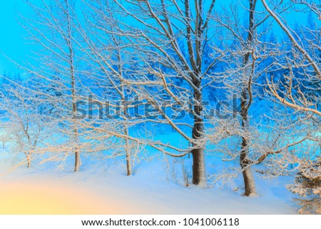 Trees covered with snow in winter. (Yellow and blue picture tone).