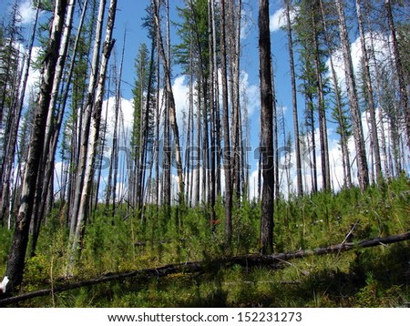 trees foliage after forest fire