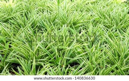 """Trees for use in Garden decoration. Scientific name """"Cholorophytum comosum. (Anthesicum Vittatum)"""" - stock photo"""