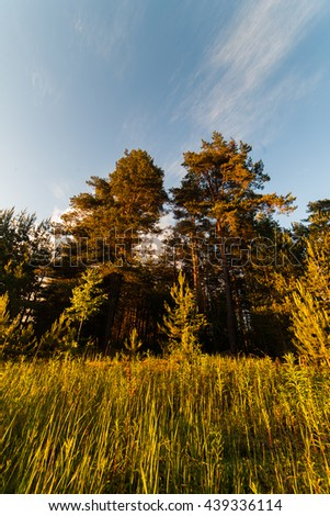 trees forest sky spruce pine landscape - stock photo
