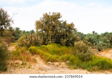 Trees in the Bahariya Oasis in EGypt