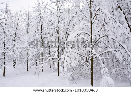 Trees in the snow on a winter day