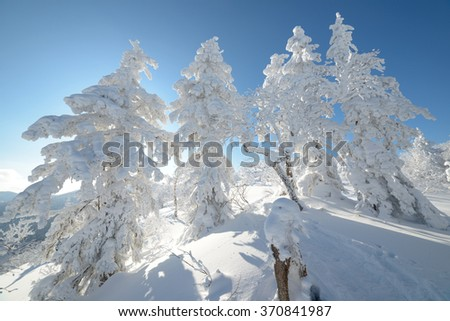 Trees in the snow, Sakhalin Island, Russia.