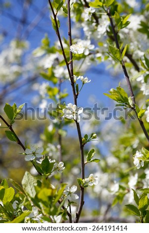 Trees in white blossom in spring - stock photo