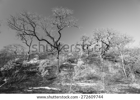 Trees Landscape Fire Vintage Fire burnt trees grass landscape in wilderness wildlife terrain vintage black and white tones of nature. - stock photo