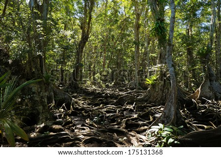 Trees roots in the tropical jungle of Panama, Bocas del Toro, Caribbean - stock photo