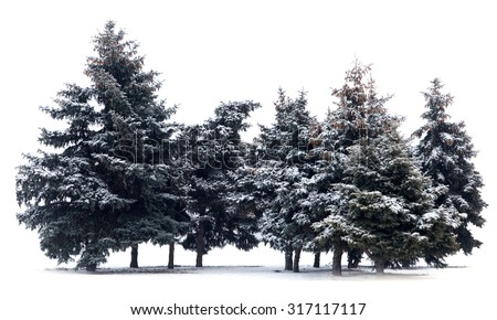 Trees spruce isolated on white background