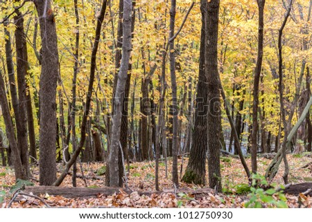 Trees turning in Autumn in a forest in Wisconsin