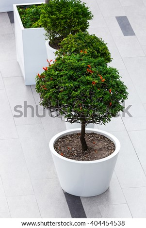 trees with flowers in large pots - stock photo