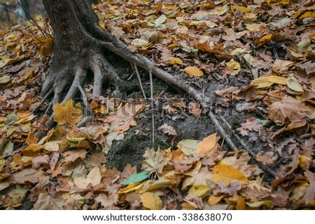 Trees with large roots that peek out of the ground in the autumn park - stock photo