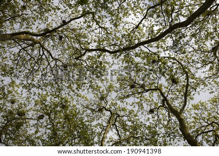 trees with nests in the crowns  - stock photo