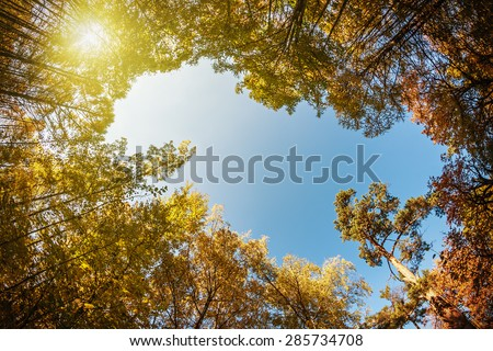 treetops in the autumn forest. photographed on a fisheye lens. focus on the tops of trees - stock photo